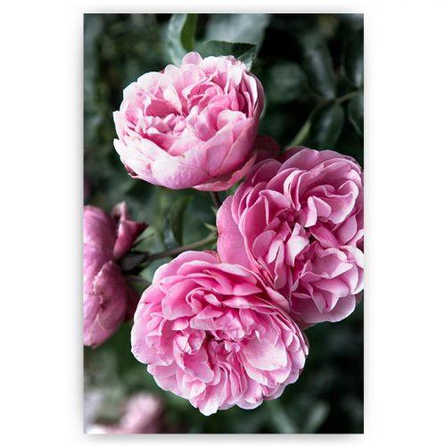 poster roze bloemen