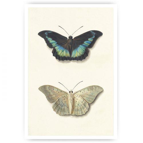 poster twee getekende vlinders vintage