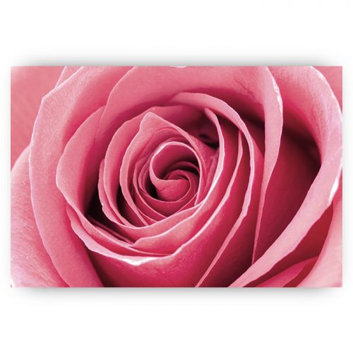 poster roze roos