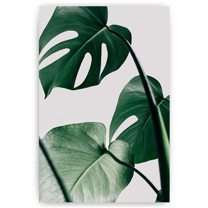 poster monstera plant