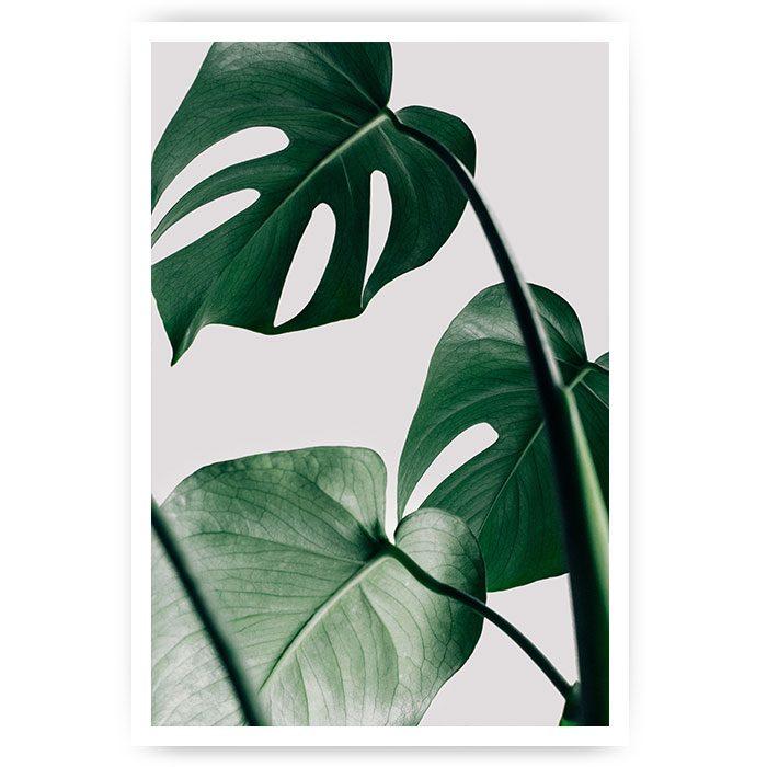 poster monstera plant blad
