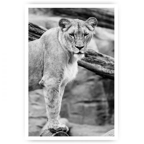 poster staande leeuw zwart wit