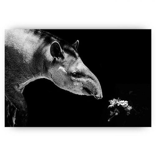 poster zwart wit tapir dier