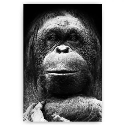 poster aap orang-oetan
