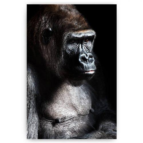 poster gorilla aap portret