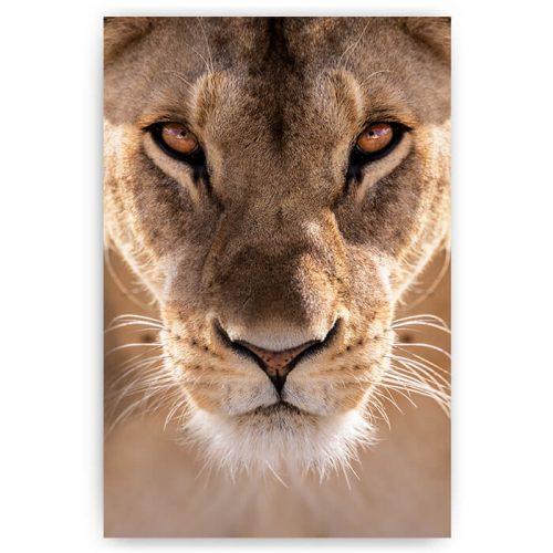 poster kop leeuwin