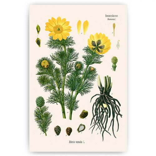 vintage bloemen illustratie annemoon
