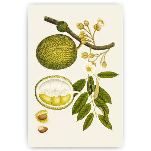 poster illustratie noot botanisch