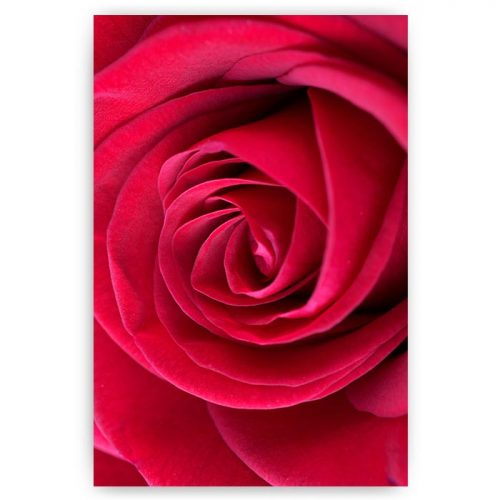 poster gekleurde roze roos