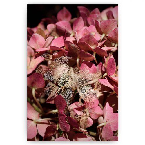 roze bloemen hortensia