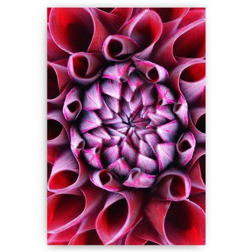 poster roze gekrulde bloem