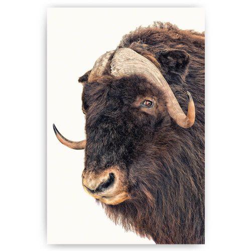 poster os buffel