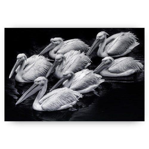 poster pelikanen