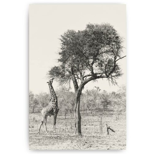 Etende giraffe