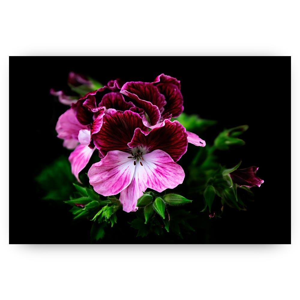 bloem geranium roze paars