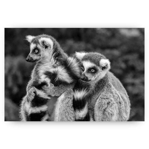 ringstaartmaki aap groep