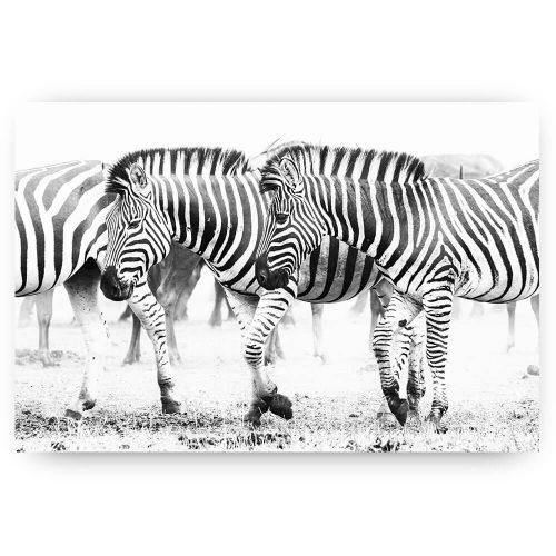 Zebra's in het wild zwart wit