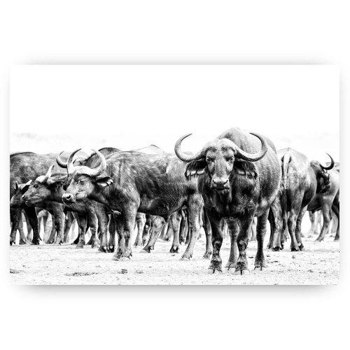 Buffel op de wacht