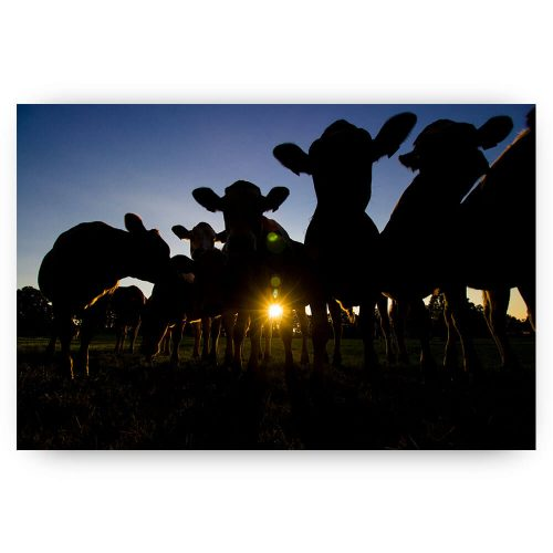 Poster koeien Silhouetten
