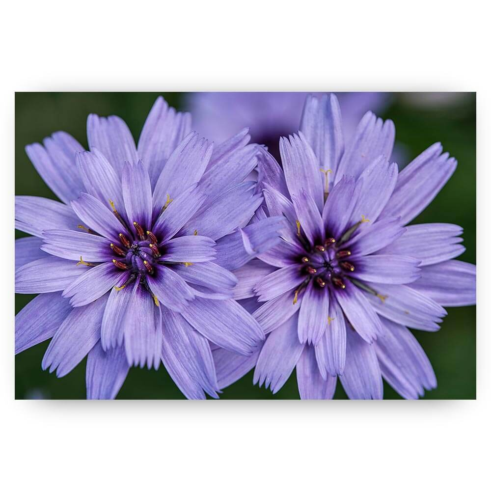 lila bloempjes