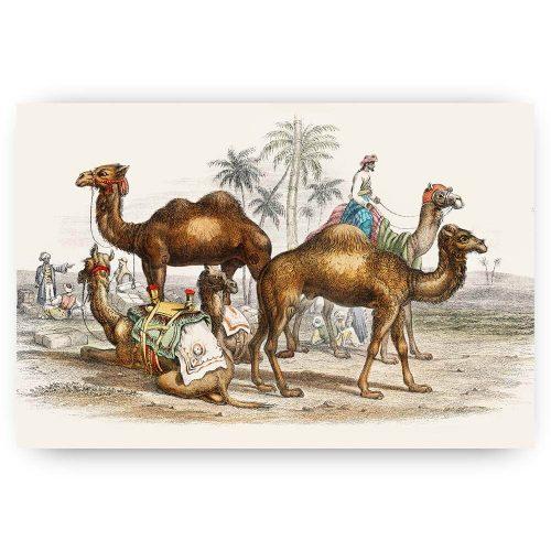 vintage kamelen tekening