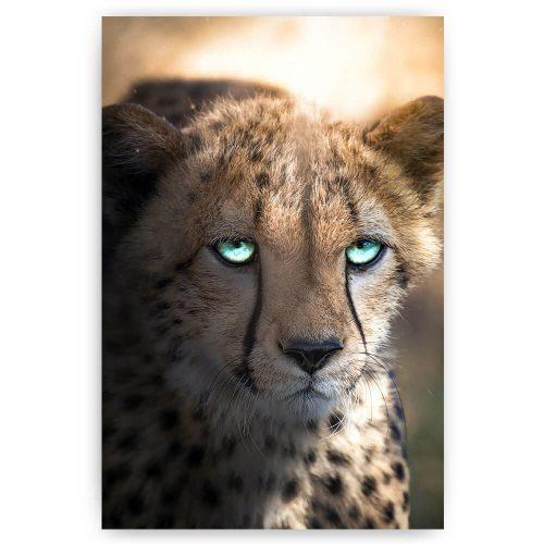 cheetah met blauwe ogen