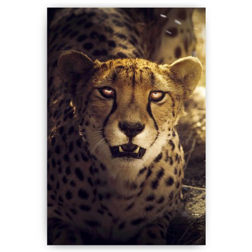 cheetah dier