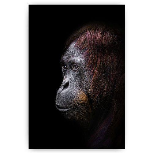orang oetan aap portret