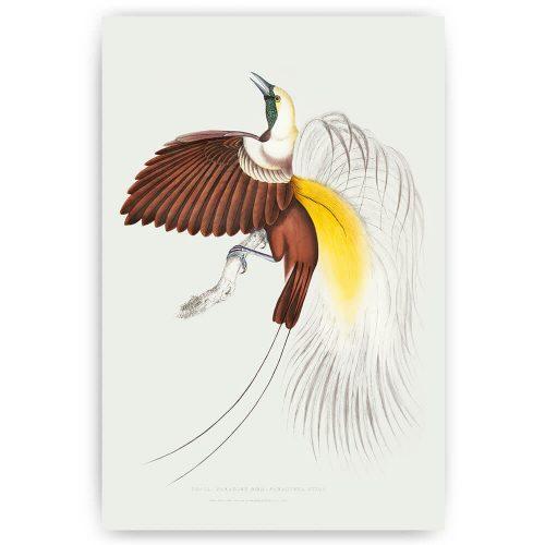 paradijs vogel