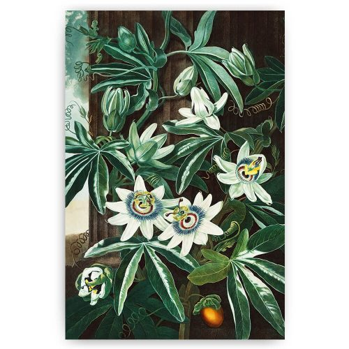 The Passiflora Caerulea