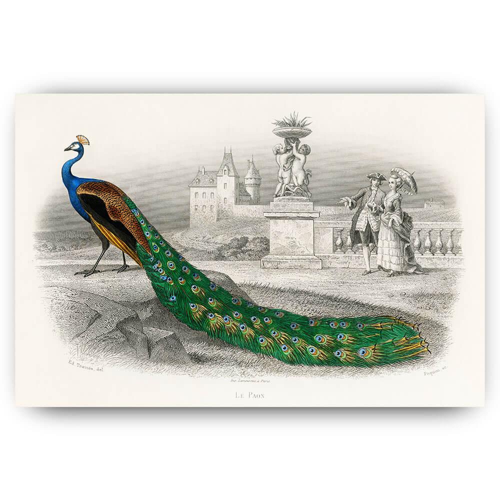 klassieke pauw