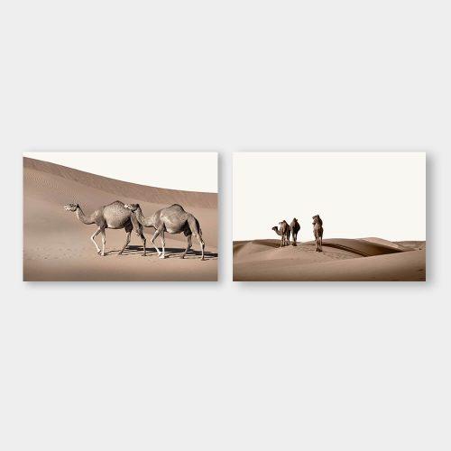 dromedarissen woestijn
